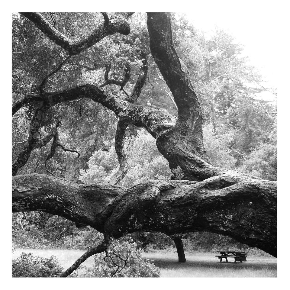Alberi a Pfeiffer Big Sur State Park, 2010